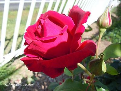 バラ(薔薇):クリストファー ストーン