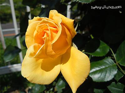 バラ(薔薇):つる ミセス PS デュポン