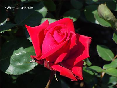 バラ(薔薇):ブルグンド'81