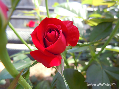 バラ(薔薇):ラッキー ダック