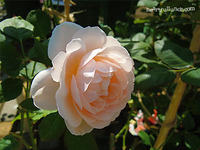 バラ(薔薇):アンブリッジ ローズ