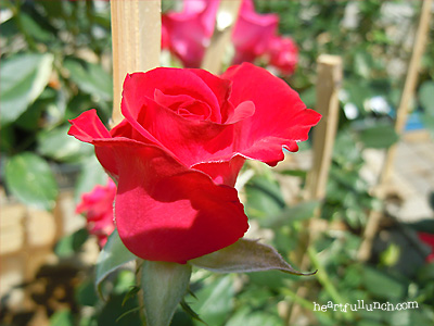 バラ(薔薇):紅(くれない)