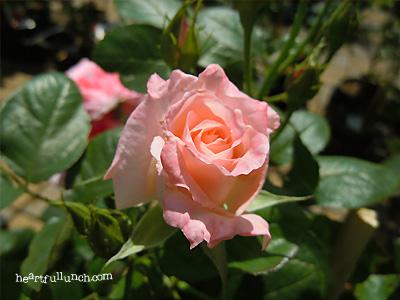 バラ(薔薇):優花