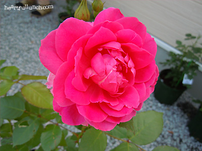 バラ(薔薇):パレード